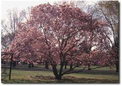 """The"" Magnolia Tree."